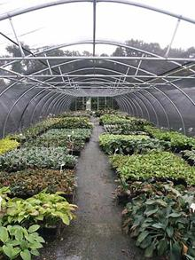 Our Hosta sales area. All of our carefully selected varieties are grown here on site.