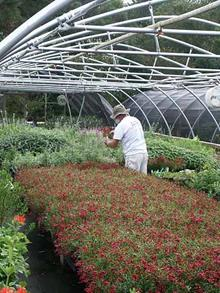 """Our stocking manager keeps the best looking plants in our """"sales houses"""" where orders are pulled and open house shoppers are allowed to purchase."""