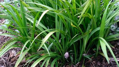 Reineckea carnea DJH 14170 in flower