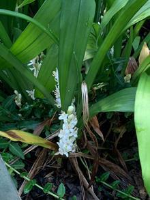 Reineckia carnea white flower Sichuan MWC 14-1081