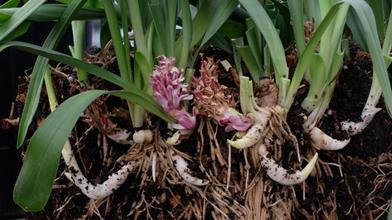 Reineckea yunnanensis cf. A1C-101