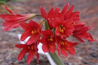 Rhodophiala bifida 'Red Baron'