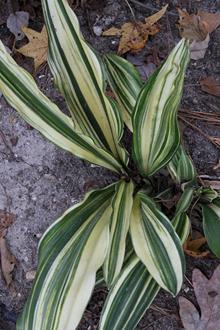 Rohdea japonica 'Applecourt'