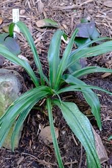 Rohdea japonica 'Chin Strap'