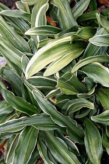Rohdea japonica 'Chirimen Boshi'