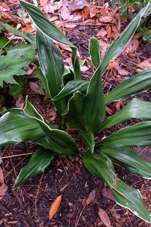Rohdea japonica 'Daitoryu'