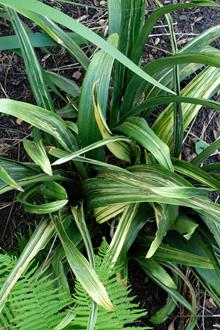 Rohdea japonica 'Derangement'