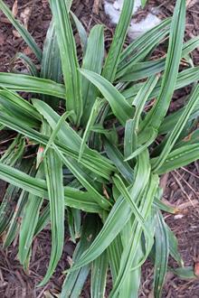 Rohdea japonica 'Fukuju Kan'