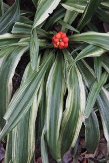 Rohdea japonica 'Gunjaku'