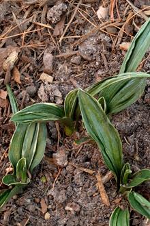 Rohdea japonica 'Gyoku ho Nishiki'