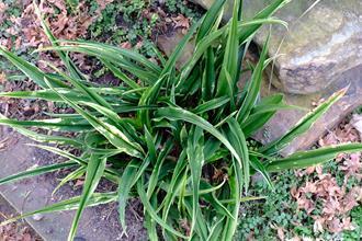 Rohdea japonica 'Kin Cho Ju'