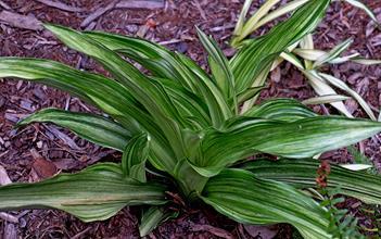 Rohdea japonica 'Miho no Matsu'