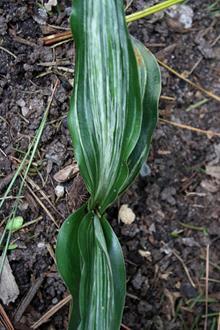 Rohdea japonica 'Negishi no Matsu'