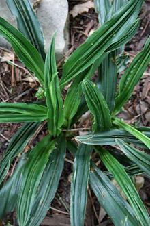 Rohdea japonica 'Nobori Ryu'
