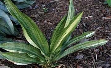 Rohdea japonica 'O Ho'