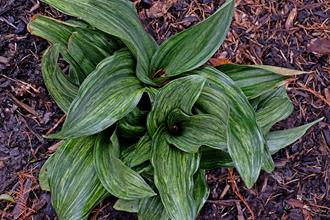 Rohdea japonica 'Otome'