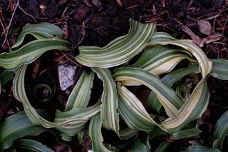 Rohdea japonica 'Shima Jishi'