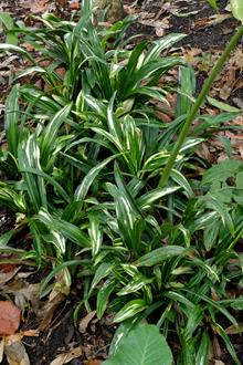 Rohdea japonica 'Shiro Botan'