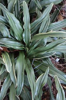 Rohdea japonica 'Suncrest'