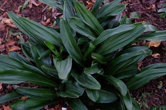 Rohdea japonica 'Taisho Kan'