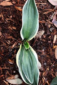 Rohdea japonica 'Taka Mine'