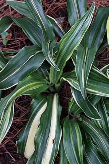 Rohdea japonica 'Tamagawa Ryu'