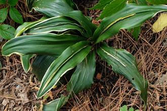 Rohdea japonica 'Tama Hilfiger'