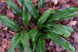 Rohdea japonica 'Undulata'
