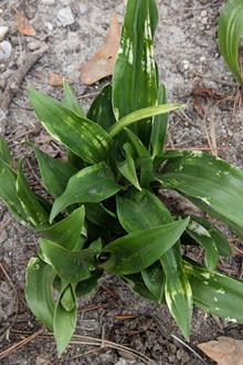 Rohdea japonica 'Yoroi Kaku no Matsu'