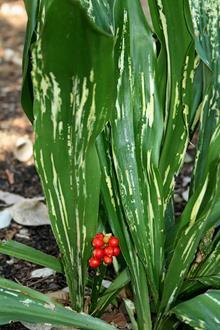 Rohdea japonica 'Zansetsu'