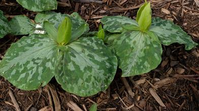Trillium cuneatum 'Oconee Yellow'