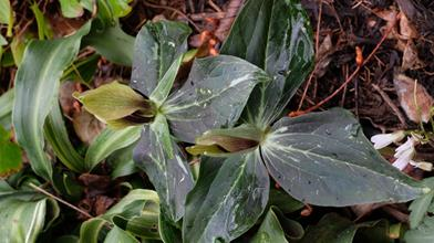 Trillium lancifolium 'Dark Shadows'