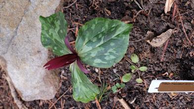 Trillium maculatum SE15 121C