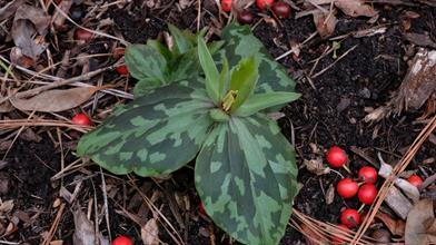 Trillium sp. nov. elbertii PDN002