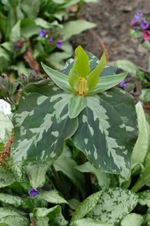 Trillium sp. nov. elbertii SE18 044 yellow