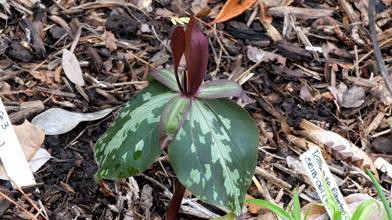 Trillium sp. nov. elbertii SE18 061