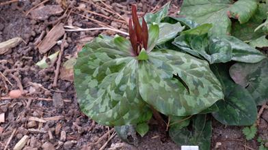 Trillium sp. nov. elbertii SE18 068