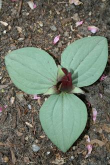 Trillium decumbens Silver Dollar
