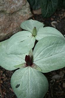 Trillium foetidissimum Silver Angel in flower