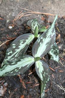 Trillium lancifolium Silver Streak A2FL 013