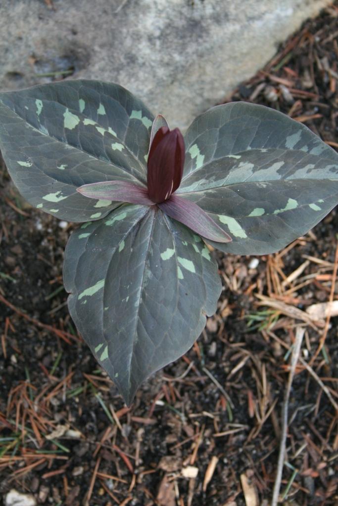 Trillium maculatum 'Dark Chocolate' A1NC 056ex