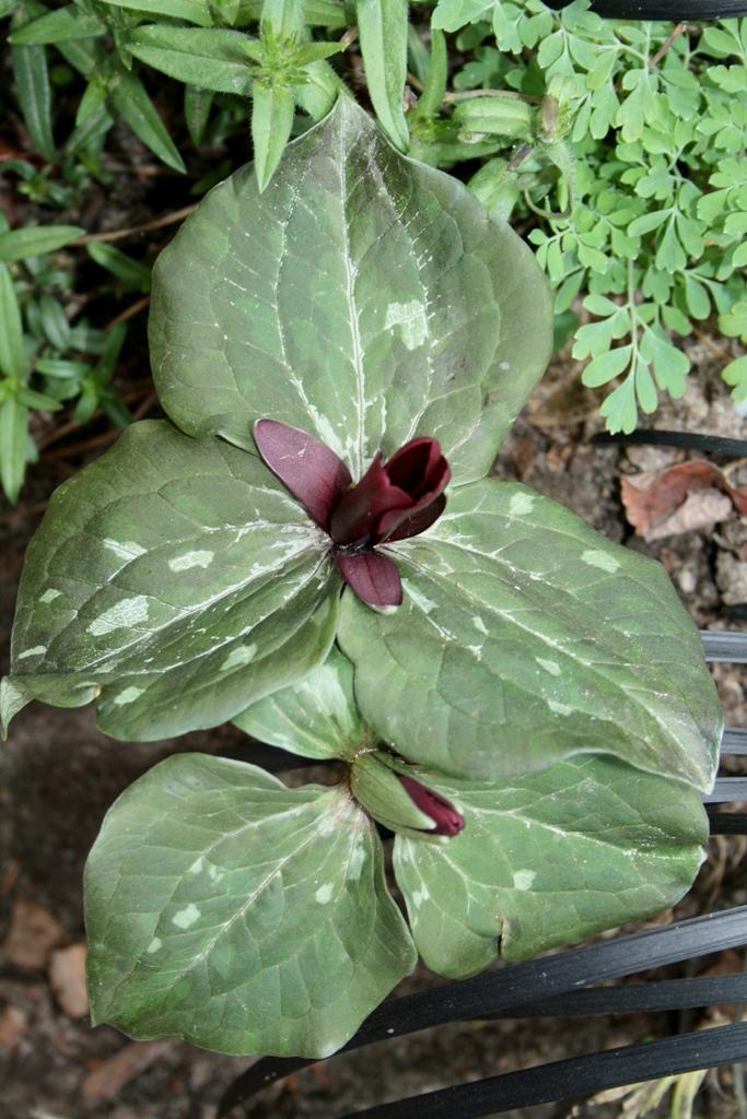 Trillium maculatum 'Olivia' @ JLBG