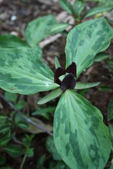Trillium oostingii PDN006 in flower