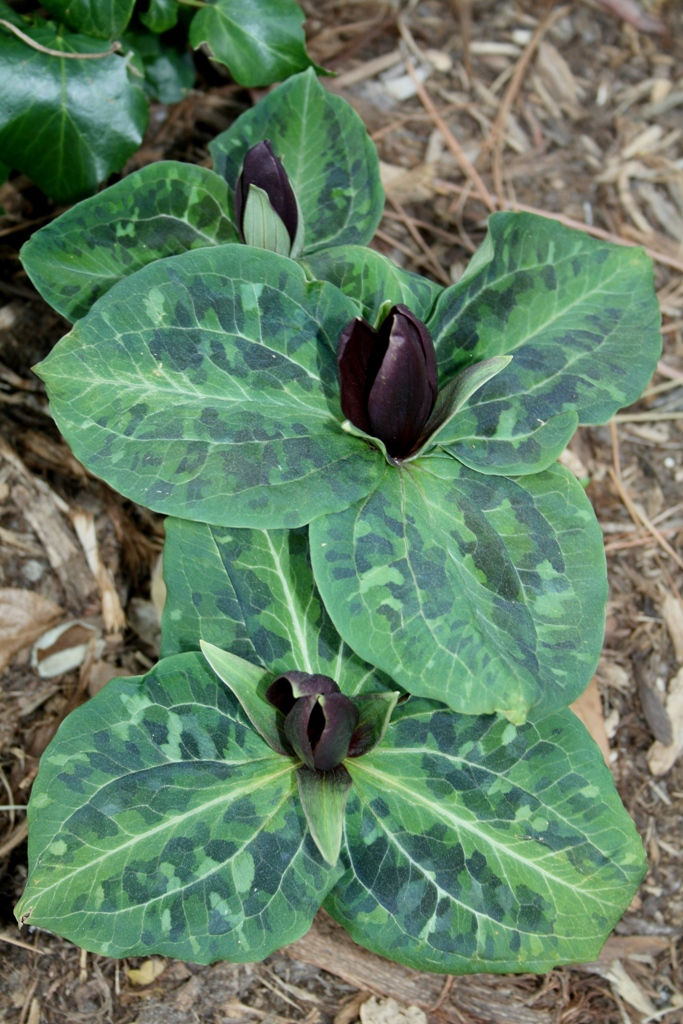 Trillium underwoodii 'Night Rider' in flower