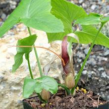 Typhonium albidinervum AGA 2277-01