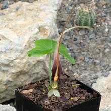Typhonium albinervum AGA 2277-01