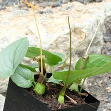 Typhonium circinatum AGA 0847-01
