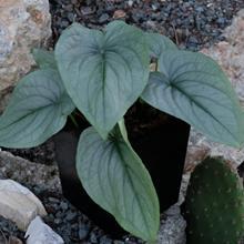 Typhonium circinatum AGA 847-01