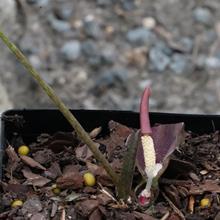 Typhonium gagnepainii cf. AGA 2694-01