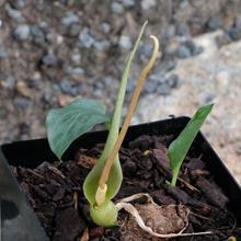 Typhonium tubispathum AGA 1146-01